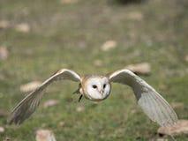 Barn owl Tyto alba flying in a falconry exhibition Stock Photos