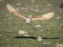 Barn owl Tyto alba flying in a falconry exhibition Royalty Free Stock Photography