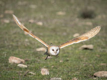 Barn owl Tyto alba flying in a falconry exhibition Stock Images