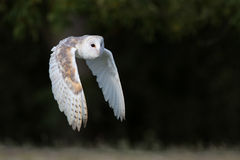 Barn Owl (Tyto Alba). Barn Owl flying in front of dark forest Royalty Free Stock Images