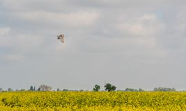 Barn owl Tyto alba flying over Lincolnshire fens stock photo