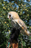 Barn owl (Tyto alba). On hand of falconer Stock Photo
