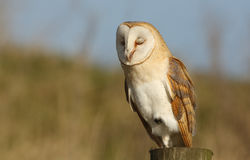 A Barn Owl (Tyto alba) having forty winks showing the feather on its eyelids. Royalty Free Stock Photo