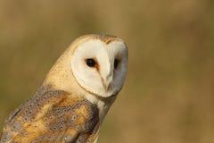 Barn Owl (Tyto alba). Stock Photos