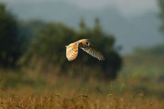 Barn Owl - Tyto alba. Barn owl hunting over the fields Stock Images