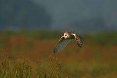 Barn Owl - Tyto alba. Barn owl hunting over the fields Royalty Free Stock Photo