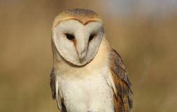 A Barn Owl (Tyto alba) looking for its next meal. Stock Photo