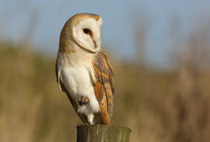 A Barn Owl (Tyto alba) looking for its next meal. Royalty Free Stock Photography