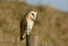 A Barn Owl (Tyto alba) looking for its next meal. Royalty Free Stock Image