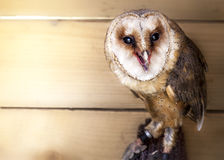 Barn Owl (Tyto Alba). Barn Owl, most widely distributed species of owl, and one of the most widespread of all birds Royalty Free Stock Photo