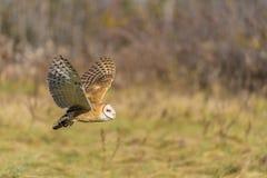 Barn owl (Tyto alba) Stock Images