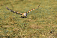 Barn owl (Tyto alba) Royalty Free Stock Images