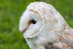 The barn owl Tyto alba stock photo