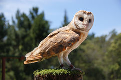 Barn owl tyto alba Royalty Free Stock Photo