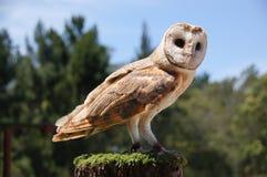 Barn owl tyto alba. A pale barn owl ( Tyto alba ) with shiny eyes pauses on a fence post royalty free stock photo