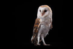 Barn Owl Tyto alba, on perch looking left. Low key Stock Photos