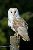 Barn Owl (tyto alba). Barn Owl perched on Fence Post Royalty Free Stock Images