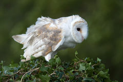 Barn Owl (Tyto Alba). Barn Owl perched on ivy covered branch Royalty Free Stock Photography