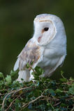Barn Owl (Tyto Alba). Barn Owl perched on ivy covered branch Royalty Free Stock Photo