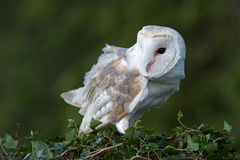 Barn Owl (Tyto Alba). Barn Owl perched on ivy covered branch Royalty Free Stock Image