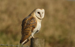 A Barn Owl (Tyto alba) perched looking for its next meal. Royalty Free Stock Photos