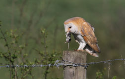 A Barn Owl (Tyto alba) perched on a post eating a Water Shrew (Neomys fodiens) . Stock Photography