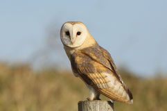 A Barn Owl (Tyto alba) perched on a post. Stock Photo