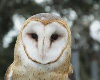 Barn Owl (Tyto alba). Portrait of a Barn Owl Royalty Free Stock Photo
