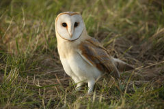 A Barn Owl (Tyto alba) resting in the grass. Royalty Free Stock Image