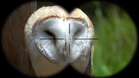 Barn Owl Tyto alba Seen through Binoculars. Seen through Binoculars. Bird Watching at Wildlife Safari. Shot with a Sony RX10 IV fps 59,94 FHD stock video