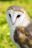 Barn Owl ( Tyto Alba ) side on profile portrait Royalty Free Stock Images