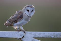 Barn owl, Tyto alba Royalty Free Stock Photo