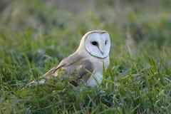 Barn owl, Tyto alba Stock Photography