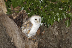 Barn owl, Tyto alba Royalty Free Stock Photos