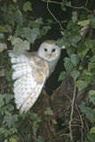 Barn owl, Tyto alba Stock Photography