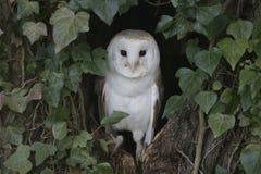 Barn owl, Tyto alba. Single bird in ivy on tree, Warwickshire Royalty Free Stock Photo