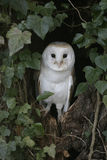 Barn owl, Tyto alba Stock Images