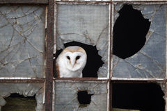 Barn owl, Tyto alba Royalty Free Stock Images