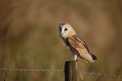 Barn owl, Tyto alba Stock Photo