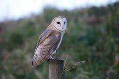 Barn owl, Tyto alba Royalty Free Stock Photography
