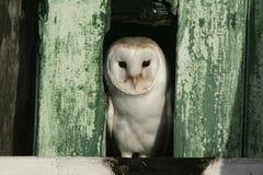 Barn owl, Tyto alba. Single bird in barn, Warwickshire Stock Photos