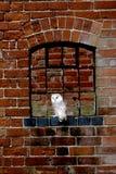Barn owl, Tyto alba. Single bird at window Royalty Free Stock Photos