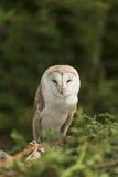 Barn owl, tyto alba. Sitting in the headge Stock Photos