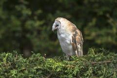 Barn owl, tyto alba. Sitting in the headge Stock Photo