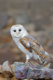 Barn owl,Tyto alba, sitting on stone wall, light bird in the old castle, animal in the urban habitat. Spain Royalty Free Stock Photo