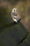 Barn owl, Tyto alba, sitting on wooden roof, Czech republic Royalty Free Stock Images