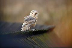 Barn owl, Tyto alba, sitting on wooden roof, Czech republic Stock Photography