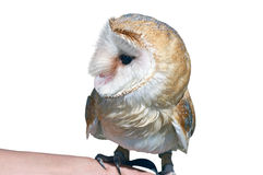 The Barn Owl. Barn Owl, Tyto alba, standing in front of white background Stock Images