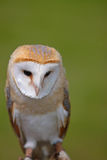 Barn Owl (Tyto alba). Barn Owl (Tito alba) has a heart shaped face with white underside and brown back. A member of the Owl family Owls (Tytonidae). They inhabit Royalty Free Stock Image