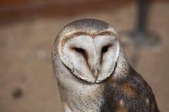 Barn owl (Tyto alba). Stock Images